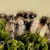 Jumping Spider, Pająk Ska<br />kun (Salticidae) - Photog<br />rapher London, www.moonfl<br />ash.eu