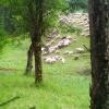 Owieczki w Kuźnicach :) ::