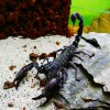 Heterometrus petersii :: Pan skorpion :)