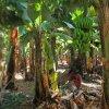 I na wyspach bananowych &<br />quot;bananówkę&quot; pić <br />:) :: Madalena do Mar, Madera, <br />lipiec 2015