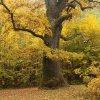 Jesienny dąb