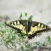 najpiękniejszy... z motyl<br />i paź królowej ;-)