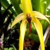 Bulbophyllum Wilbur Chan<br />g.
