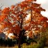 Jesień klon ozłociła :)
