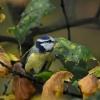 Jesienna modraszka
