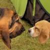 Przyjazne spotkania międzyrasowe... :: Bloodhound  (pies św. Huberta)... Basset hound... Beagle...