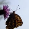 Motylek dla Agnieszki :))