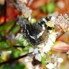 Wspomnienie lata Rusałka <br />kratnik  (Araschnia levan<br />a)