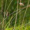 Łozówka (Acrocephalus pal<br />ustris)