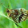 to może być przeplatka aurelia - to biały kruk wśród motyli jest  ::