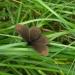 Erebia medusa - górówka m<br />eduza 1.06.2017, Silická <br />Planina, Gemer, Słowacja. :: Nymphalidae &amp;ndash; S<br />atyrinae &amp;ndash; Saty<br />rini &amp;ndash; Erebiina<br />e &amp;ndash; Erebia. Dot
