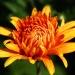 Jesienny kwiat na niepogo<br />dę  :: Miłego oraz pogodnego dni<br />a dla miłych gości
