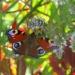 Rusałka pawik...w jesiennej scenerii....z pozdrowieniami dla wszystkich odwiedzających :)