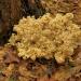 Kozia broda... ::  Znany też regionalnie ja<br />ko siedzuń sosnowy, szmac<br />iak gałęzisty, strzępiak <br />kędzierzawy i ma je