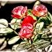 Czerwone róże ::