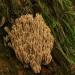Koralówka sztywna... ::