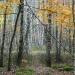 Brzozy w Lasach Nadarzyńskich