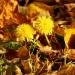 a tak się pięknie bliźniacze mleczyki z liści jesiennych wyłoniły
