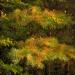Osutka jesienna sosny... ? ...chloroza igieł sosny... ?