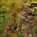 Sezon na boczniaki ostryg<br />owate otwarty... ::   Na jednej z &quot;moich<br /> plantacji&quot; zaczął s<br />ię sezon na boczniaki ost<br />rygowate. Corocznie zb