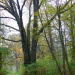 Ok. 300 - letni dąb szypułkowy, pomnik przyrody, w Lasach Nadarzyńskich